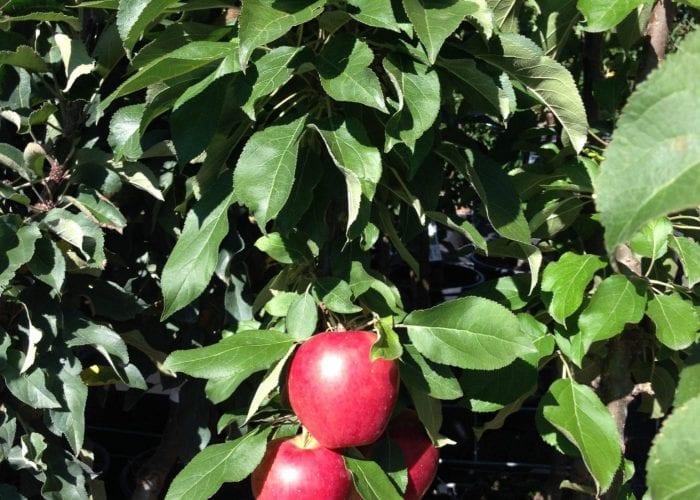 Apfelbaum - Säulenapfel