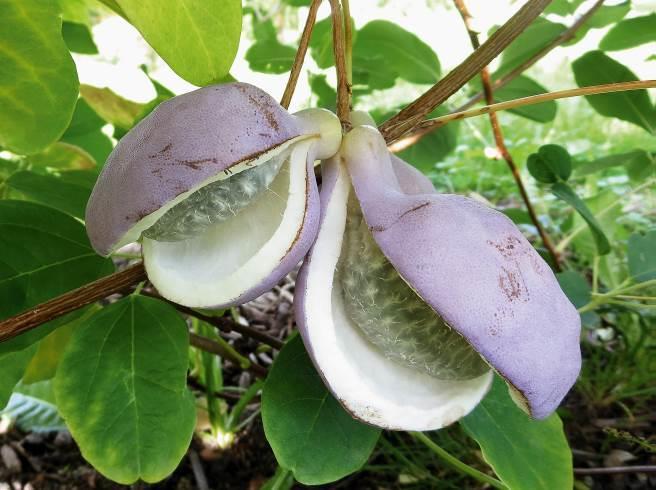 Kletternde Beerenpflanzen