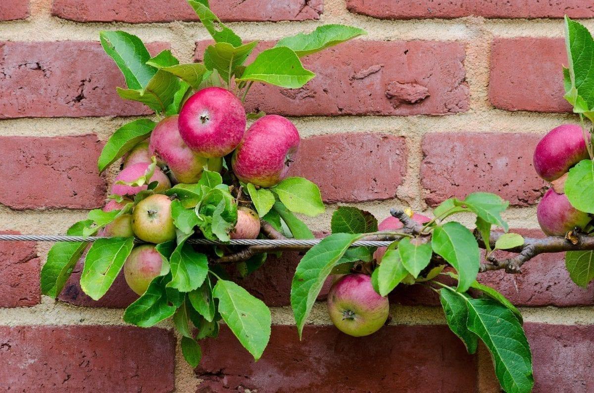 Spalierobst - Apfel