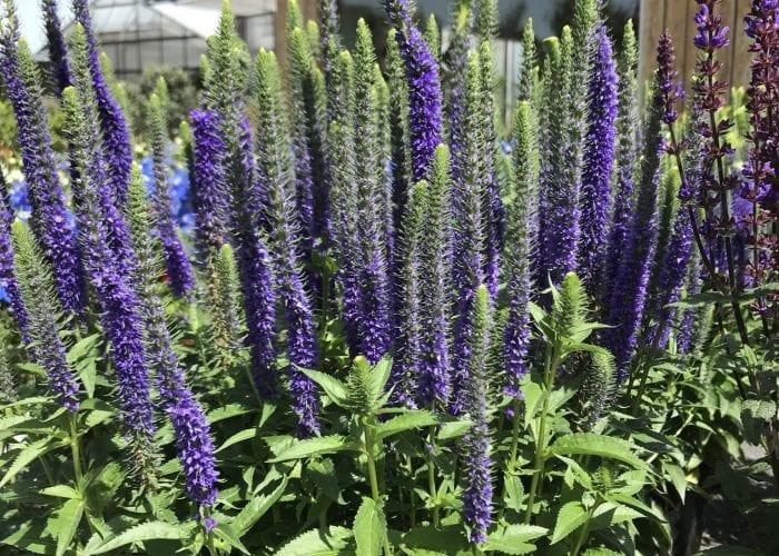 Stauden - Lavendel